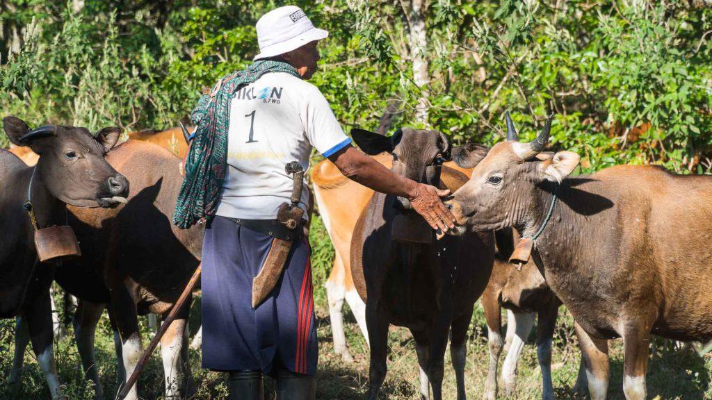 Rinjani Indonesie cows