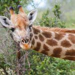 Giraffe from tent