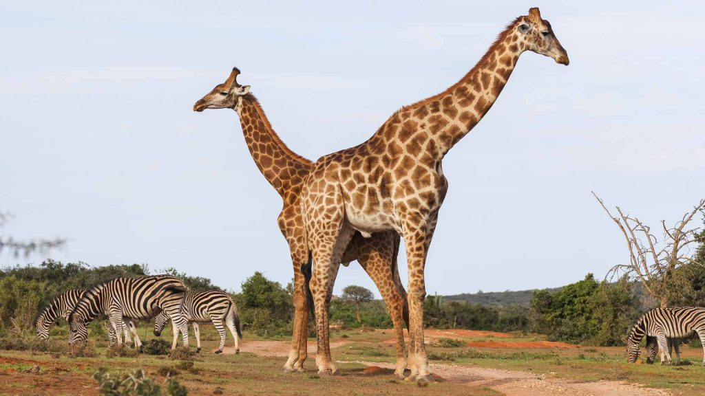 Giraffes during camping