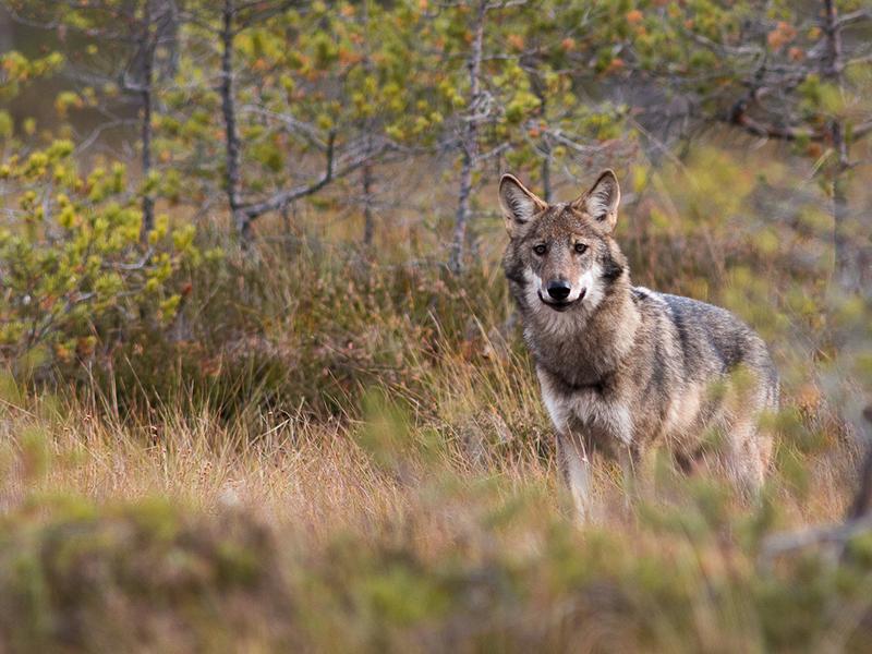 jan_nordstrom_wolf_1